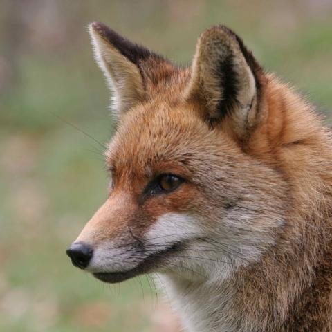 Sur les traces du renard - FFDL