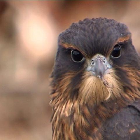 Karearea: the pine falcon - FFDL